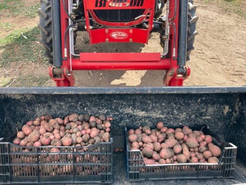 Freshly harvested red and purple potatoes from Sakari Farm